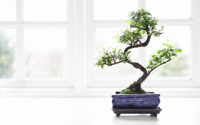 bonsai white window